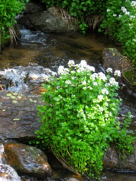Brookcress by a Colorado stream
