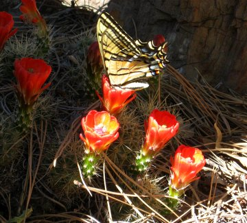 Butterfly on Claret Cup Cactus
