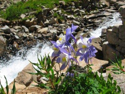 Colorado Columbine by an alpine stream