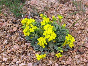 Double Bladderpod Wildflower
