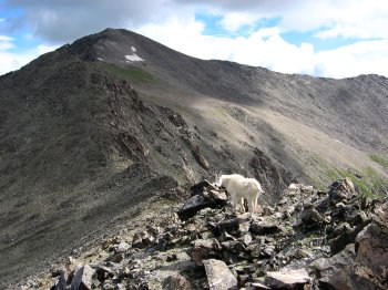 Mountain Goat on Pacific Peak 4, near Breckinridge, CO