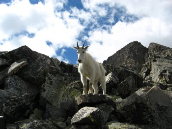 Mountain Goat on Pacific Peak, near Breckinridge, CO
