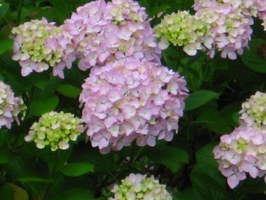 Pink Hydrangea in bloom.