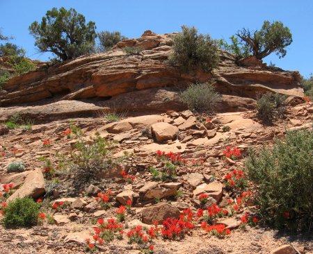Indian Paintbrush in Utah desert near Moab