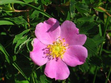Nookta Wild Rose