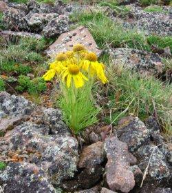 Colorado Wildflower ~