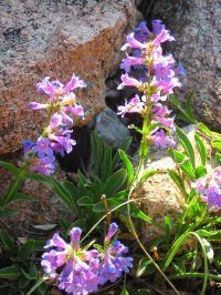 Colorado Penstemon Wildflower