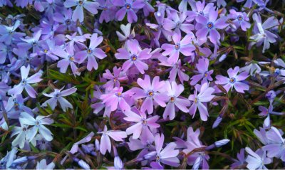 Phlox, in the Springtime