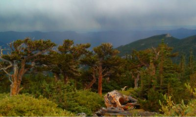 Storm over Bristlecone Pines, Mount Goliath, Colorado
