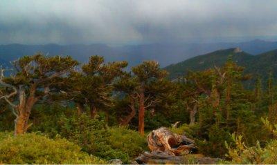 Storm over Bristlecone Pines, Mount Goliath, Colorado