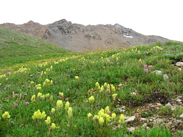 Sulfur paintbrush wildflower, Casco Peak CO