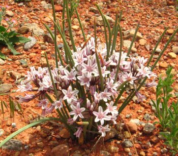 Utah desert wildflower