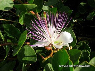Caper's Bush or Flinder's Rose, Wildflower, Malta
