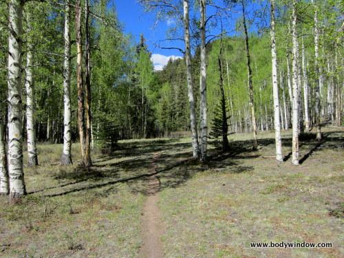 Aspen Trees in Meadow on Williams Creek Trail near Lake City, CO