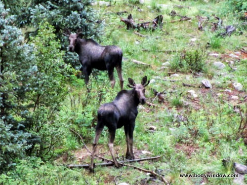 Moose along Vallecito Creek Trail