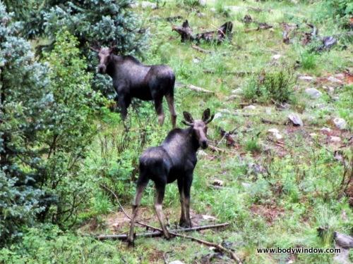 Moose along Vallecito Creek Trail