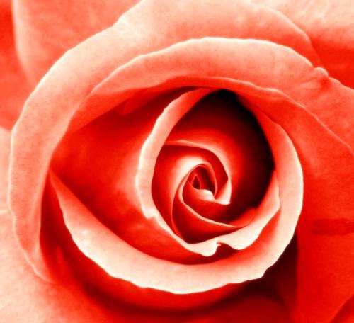 Orange, 2nd Chakra Rose