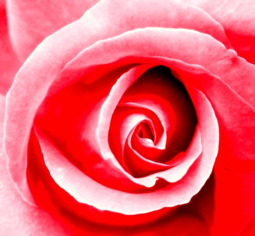 red chakra rose
