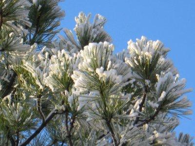 Snow on an evergreen branch
