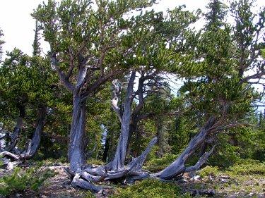 Bristlecone Pine Trees, Mount Evans, CO