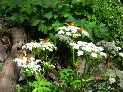 Butterflies on Cow Parsnips