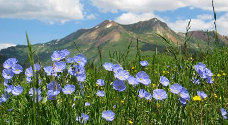Flax Wildflower, Crested Butte, CO