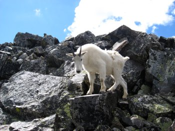 Mountain Goat on Pacific Peak 2, near Breckinridge, CO