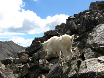 Mountain Goat on Pacific Peak 3, near Breckinridge, CO