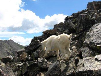 Mountain Goat on Pacific Peak 3, near Breckinridge, CO