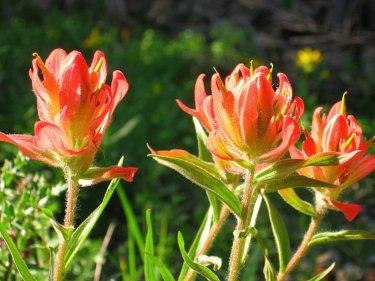 Indian paintbrush, Colorado wildflower