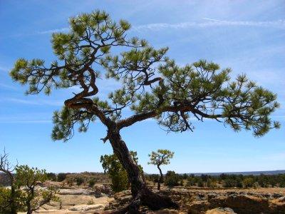 Tree in Cliff at El Moro, NM