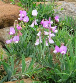 Wild Flower, Violet Sweet Pea, Colorado