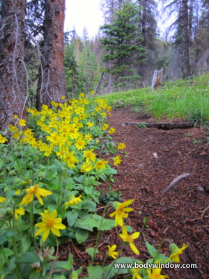 Mules Ears wildflowers on the Forest Path