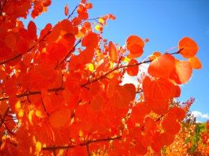 The rare orange Aspen leaves