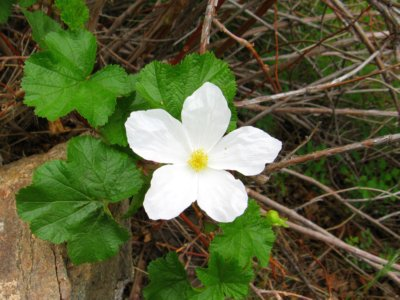 Rocky Moutain Wild Raspberry Flowe