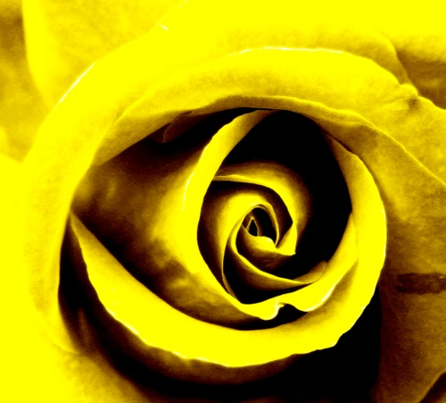 Yellow, 3rd Chakra Rose